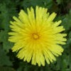Dandelion, French
