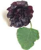 Hollyhock, Black