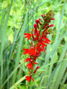 Lobelia, Red (Cardinal Flower)