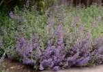 Catnip, Fassen's (Cat Mint)